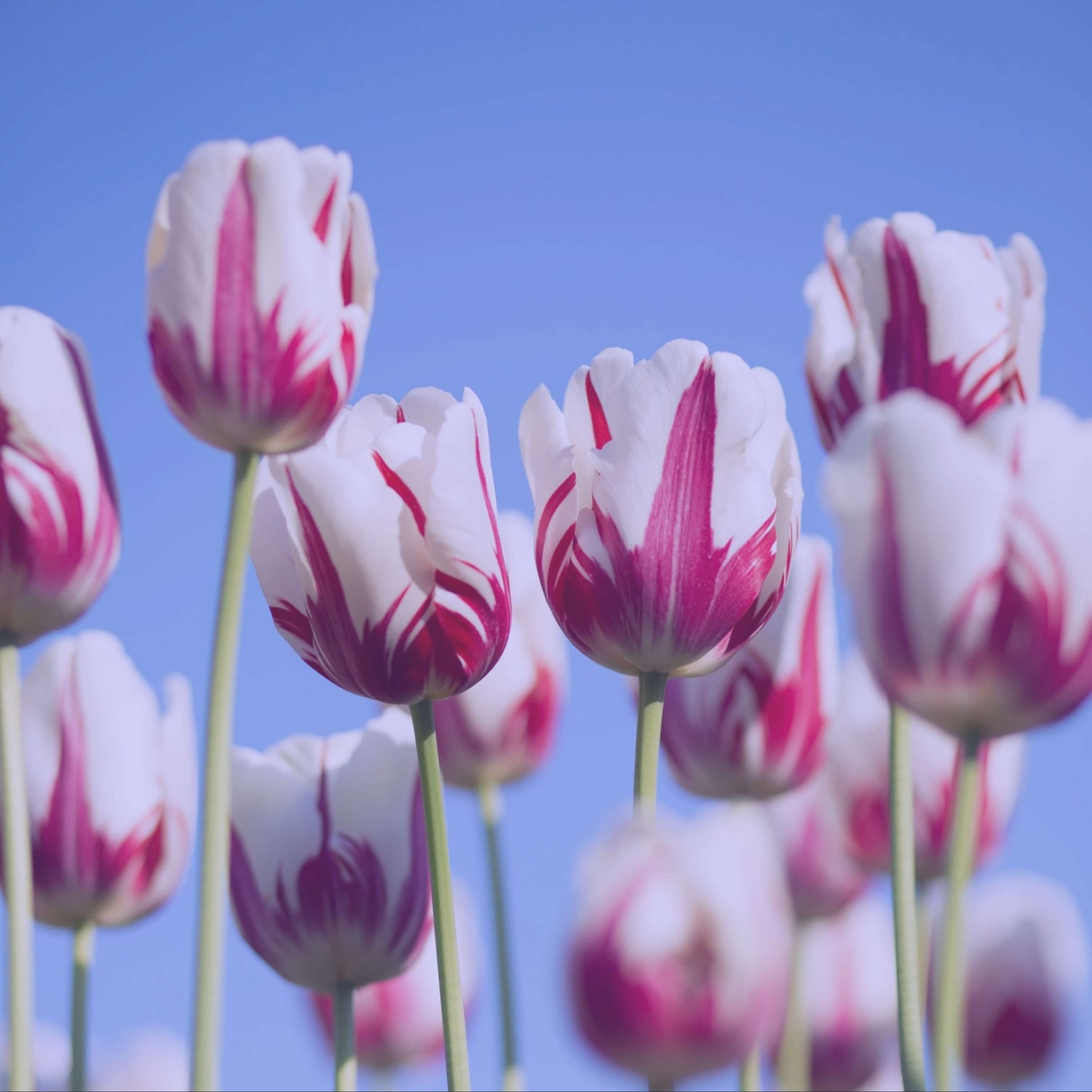 Tulipmania // When Flowers Cost More Than Houses