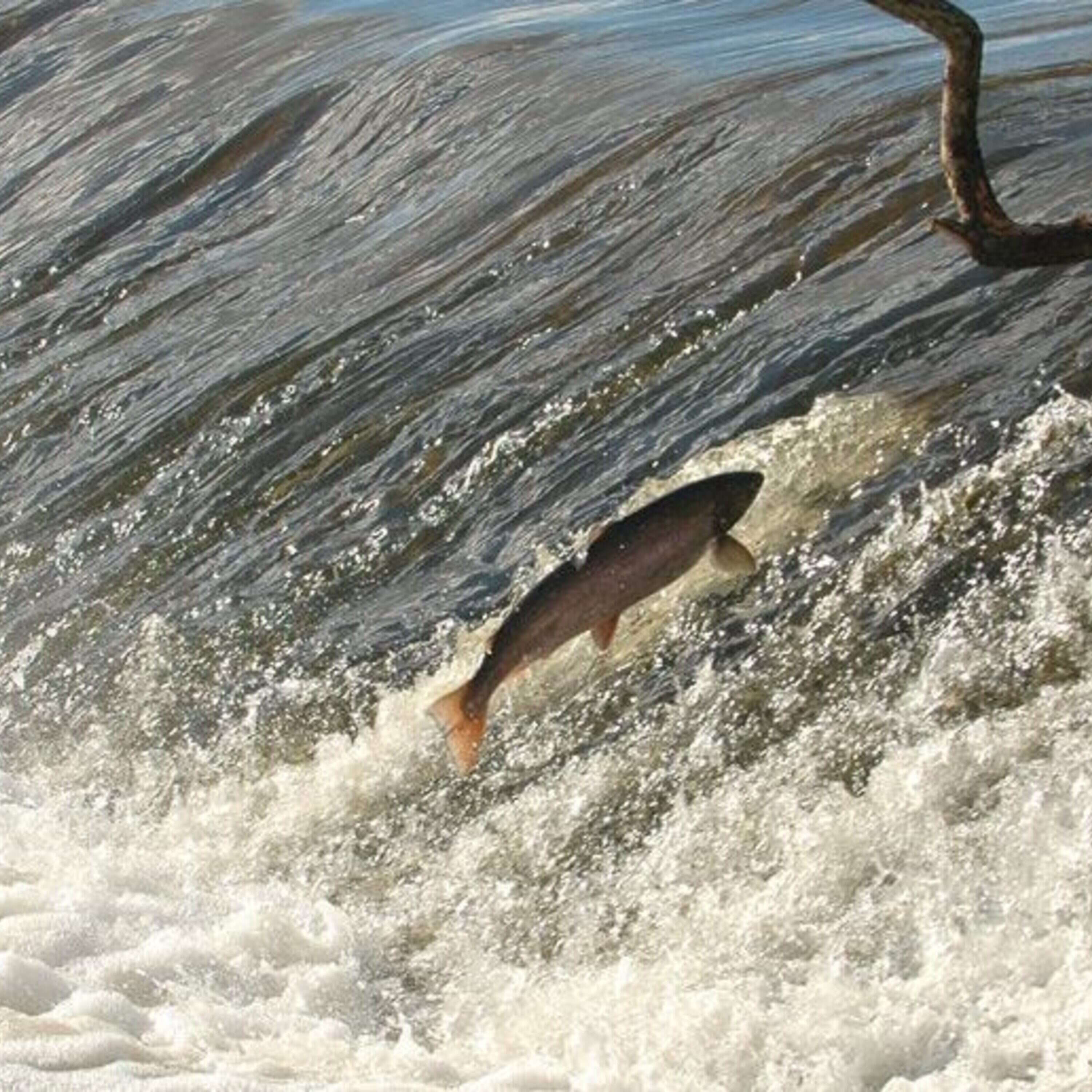 Make Way for the Salmon - the documentary series on the River Nore salmon